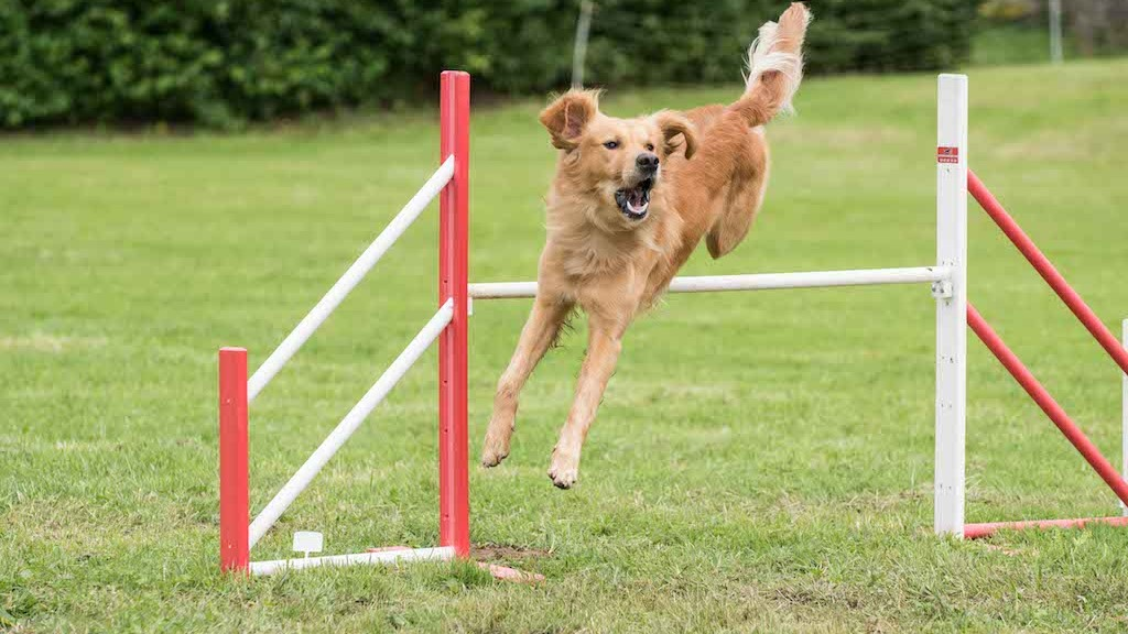 annonce concours agility